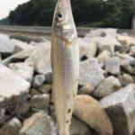 キス釣り 笠岡の島で爆釣です