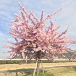 桜が満開 児島湖となりで花見