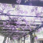 藤の花の回廊 渋川公園