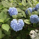 吉備津神社 紫陽花